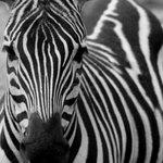 zebra51 Avatar